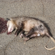 Local Possum Arrested After Outrageous Ruse