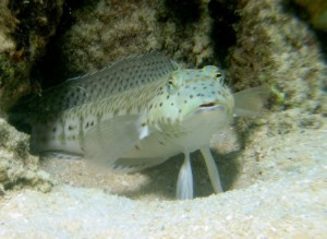 The sand goby