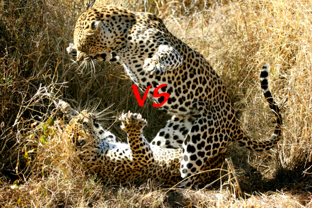 leopards fight 640